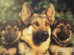 German Shepherd New Wallpapers 1920