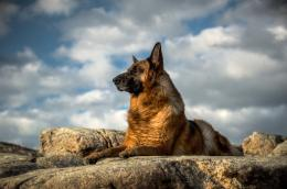 German shepherd, dog, look wallpapersphotos, pictures 1952