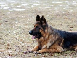Read more German Shepherd info 1121