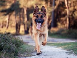 All HD Wallpapers: German Shepherd Dog New HD Wallpapers 2013 1301