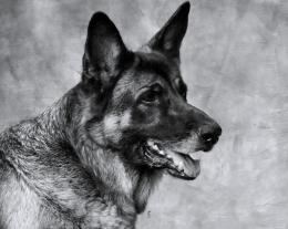 German shepherdnever disappoints new HD Wallpaper 1655
