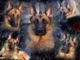 Homepage » Dog » Puppy » German Shepherd Collage Wallpaper 1462