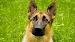 the latest and xciting wallpapers of German Shepherd,,, 1652