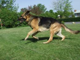 Beautiful German Shepherd 1355