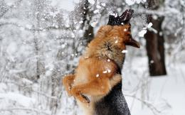 the latest and xciting wallpapers of German Shepherd,,, 1177