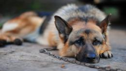 german shepherd on a chain hd wallpaper download german shepherd 1486