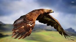 Golden Eagle Wallpapers 723