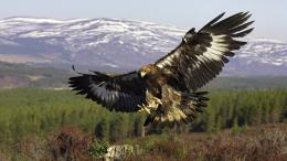 1920x1080 wallpapers animals golden eagle hd wallpapers wallpaper 2013 604