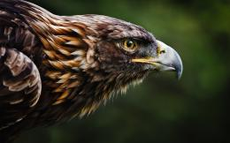 Golden eagle HD Wallpaper 1920x1080 Golden eagle HD Wallpaper 1494