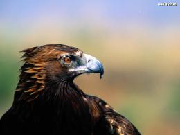 Golden Eagle Wallpaper 10596 Hd Wallpapers 1827