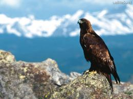 Wallpapers Majestic Perch, Golden Eagle, free photos for PC computer 282