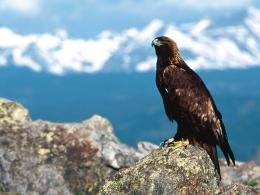 Majestic Perch Golden Eagle wallpaper 685