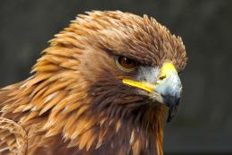 Wallpapers ⇒ Animal ⇒ Golden Eagle Wallpaper 815