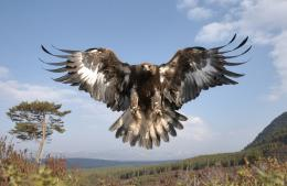 Golden Eagle Wallpaper 8272 Hd Wallpapers 1874