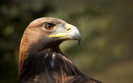 Jewel Eyed Golden Eagle wallpapers 1359