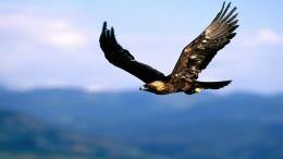 Golden Eagle Wallpaper 17 Normal 1259