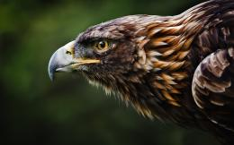 Golden Eagle Wallpapers 830