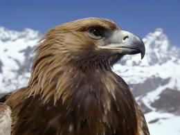 Download high quality 1600 x 1200 Golden Eagle Wallpaper 1865