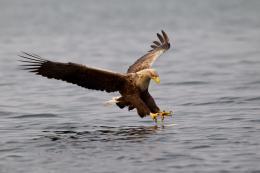 Hunter water golden eagle majestic fishing HD Wallpaper 1324