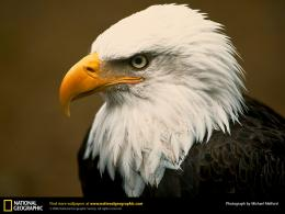 Golden Eagle Wallpaper 8123 Hd Wallpapers 1341