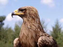 Golden Eagle Wallpapers 600