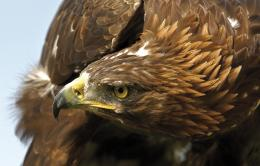 golden eagle wallpaper 7974 hd wallpapers jpg 1293