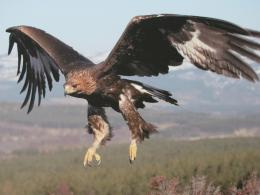 Golden Eagles Beautiful Golden Eagle In Flight 1942