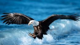 Golden Eagle Wallpapers 1372