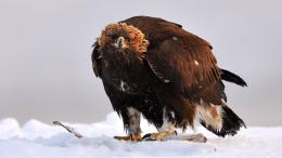 snow birds eagles Golden Eagle wallpaper background 1237
