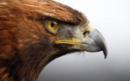 golden eagle wide hd wallpaper download golden eagle images free 1833
