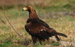 Majestic Golden Eagle wallpapers 1418