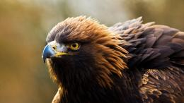 autumn golden eagle Birds animal wallpaper 1920x1080 126