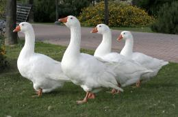 Four white goose Four White Goose Wallpapers For Desktop 1032