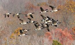 geese goose autumn fall wallpaper background 1518
