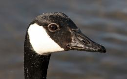 wallpapers birds wallpaper images gallery desktop canadian goose 1342