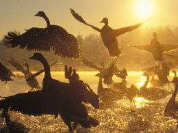 silhouette canada geese birds canadian geese wallpaper background 1661
