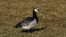 wallpaper brent goose brant wallpaper similar all top wallpapers 522