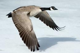Goose Wallpaper 373