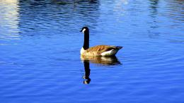 goose background goose and baby hd wallpaper goose awesome image goose 1515