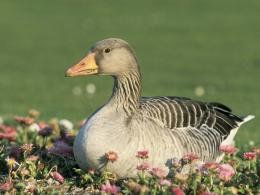 goose Desktop Wallpapers,1280*960 HD Wallpapers,Widescreen Wallpapers 1617