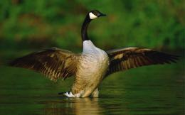 Goose Desktop Wallpapers 569
