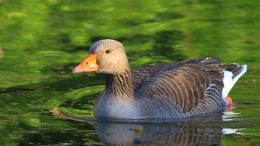 goose desktop greylag background wallpapers wallpaper photo jpg 1440