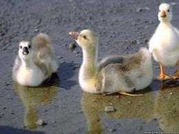 wallpapers animals birds backgrounds goslings goose babies goslings 203