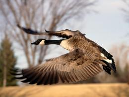 Goose Desktop Wallpapers 751