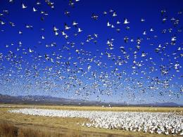 Migrating snow goose Desktop Wallpaper 729