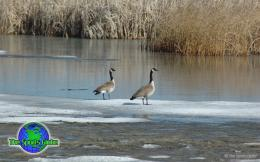 Geese Desktop Wallpaper are available in Standard and Widescreen 173