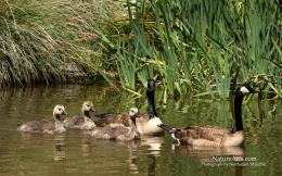 Canada Geese , wildlife wallpapers, desktop wallpapers 1073