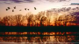 Canada Geese Migrating, Missouri 1521