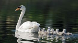 baby, goose, mother, background, wallpaper, animals, desktop, bird 1851