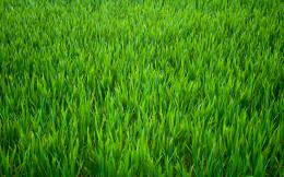 green grass hd wallpaper 7274 7274 528